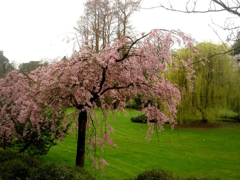 Lub caij paj tawg lawm os lawv aw! ( le retour du printemps/the return of spring)  Dsc08423