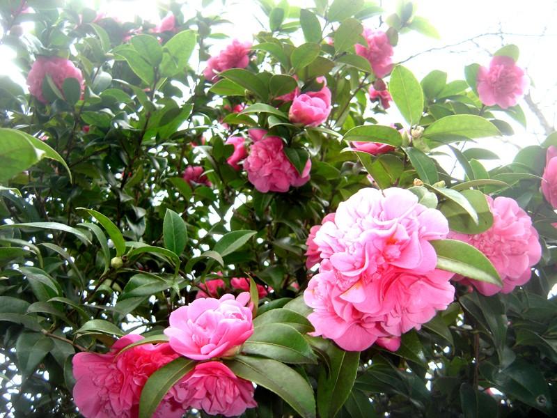 Lub caij paj tawg lawm os lawv aw! ( le retour du printemps/the return of spring)  Dsc08520