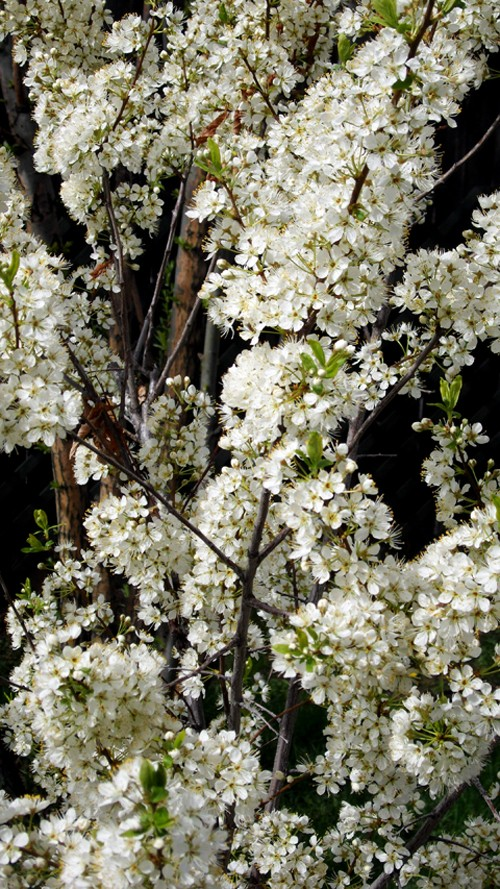 Spring flower pictures. Sam_0210
