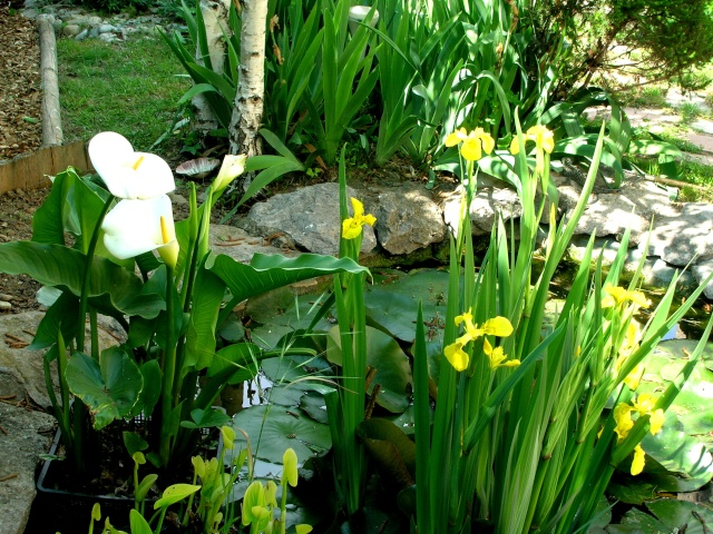 Zantedeschia aethiopica  ou  arum d'Ethiopie Iris_e11