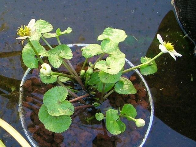 Caltha palustris  ( populage ou souci d'eau ) Rscn4510