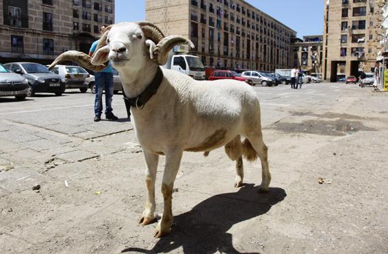 le mouton de l'aid Mouton10