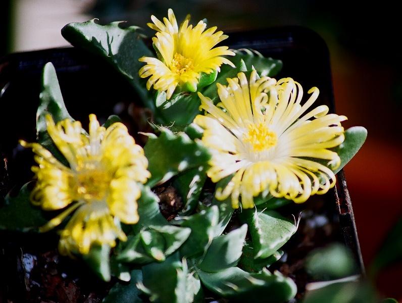 petites Aizoaceae - floraisons d'octobre-novembre 46200010