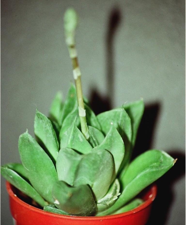 Senecio rowleyanus, Haworthia cymbiformis [devinette] 99220010