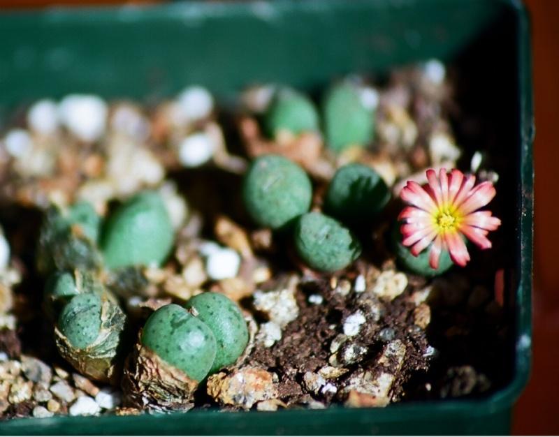 petites Aizoaceae - floraisons d'octobre-novembre Conoph10