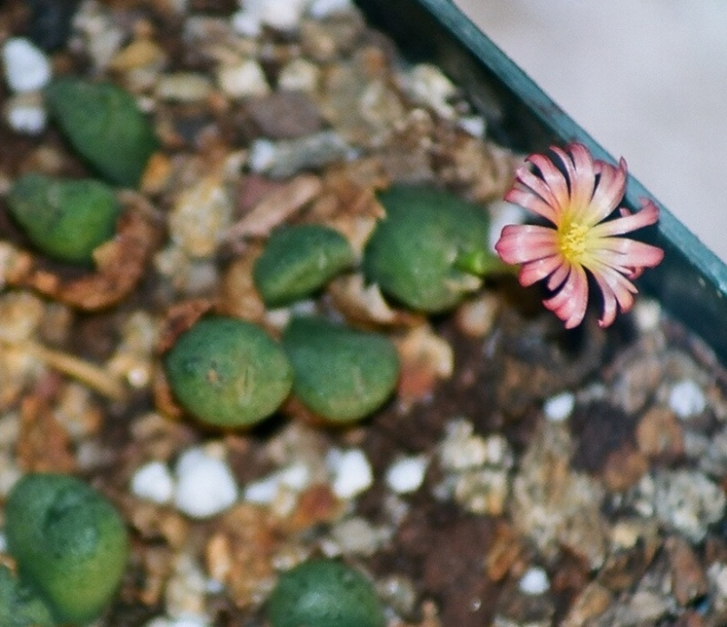 Aizoacées : floraison d'octobre-novembre Conoph13