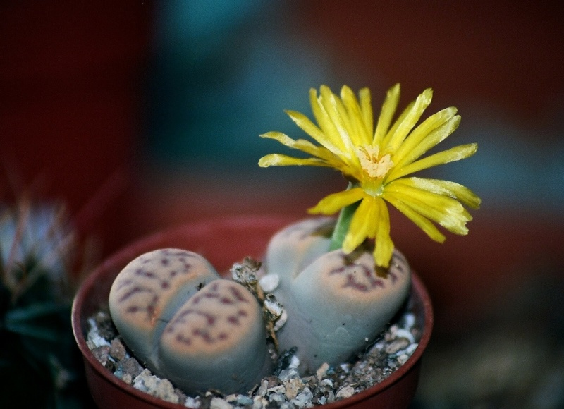 petites Aizoaceae - floraisons d'octobre-novembre Lithop10