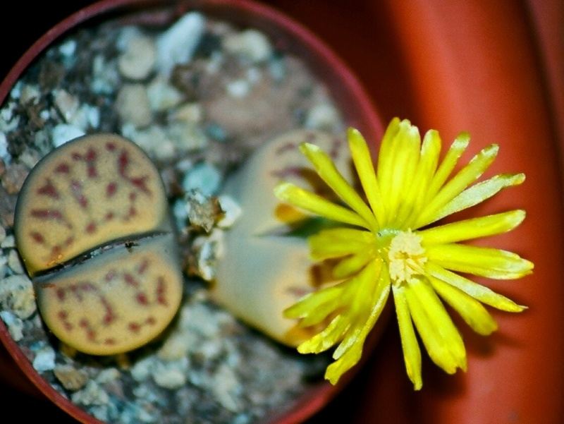 Aizoacées : floraison d'octobre-novembre Lithop13