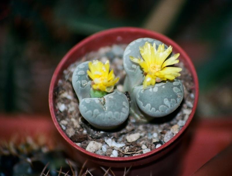 petites Aizoaceae - floraisons d'octobre-novembre Lithop14