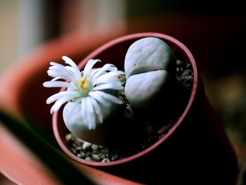 petites Aizoaceae - floraisons d'octobre-novembre Lithop15