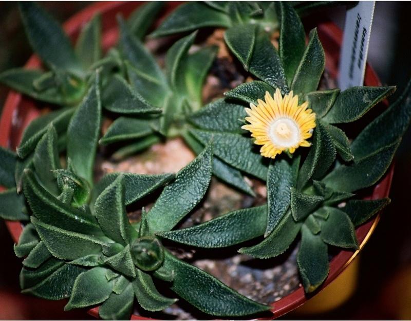 Aizoacées : floraison d'octobre-novembre Nanant11