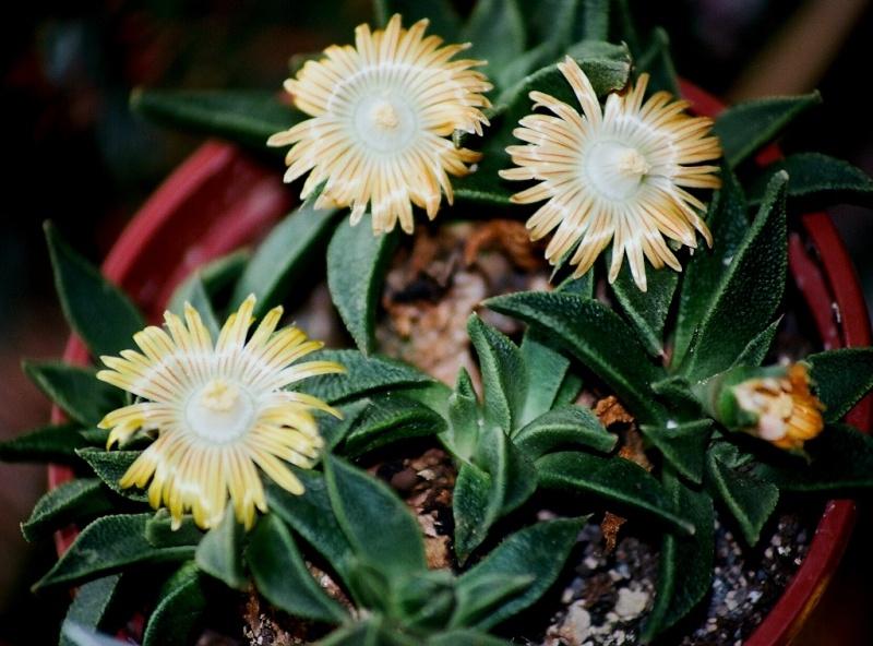 Nananthus transvaalensis Nanant12
