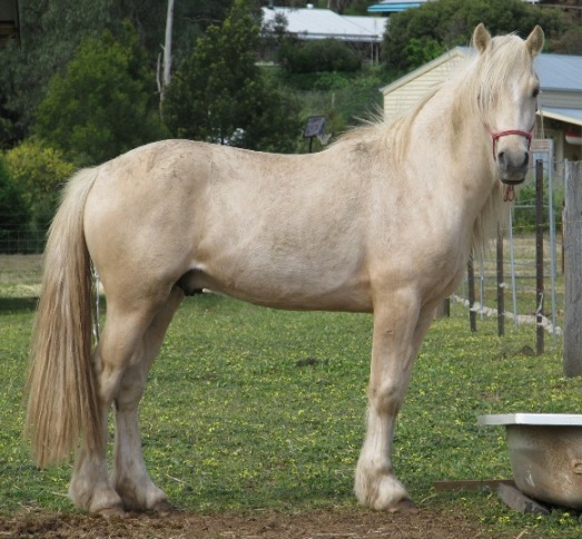 Andelain Welsh Cobs Stallions (updated) Burrow10