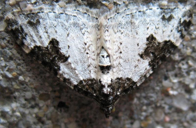 [Xanthorhoe fluctuata] quizz petit papillon Quiz410