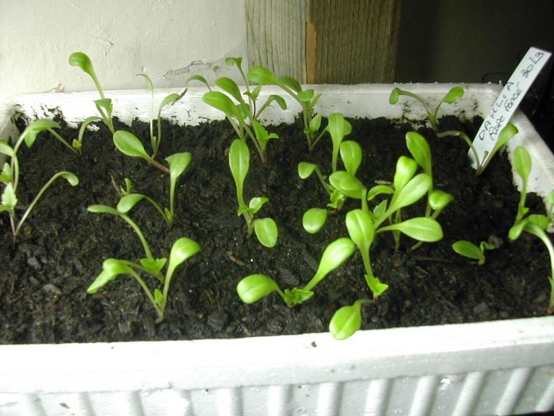 Dahlia (semis) Dscn8510