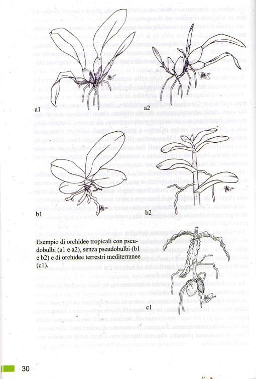 Orchidées du Monte Pellegrino Img00210