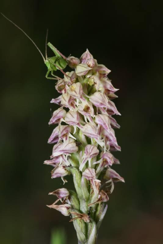 Orchidées et... sauterelles - Page 2 Neotin10