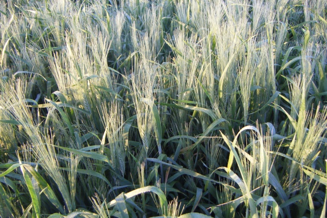 Etat des blés durs Dscf1111
