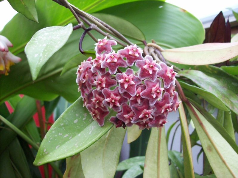 hoya publicalys red buttons en fleurs Hoya_p10