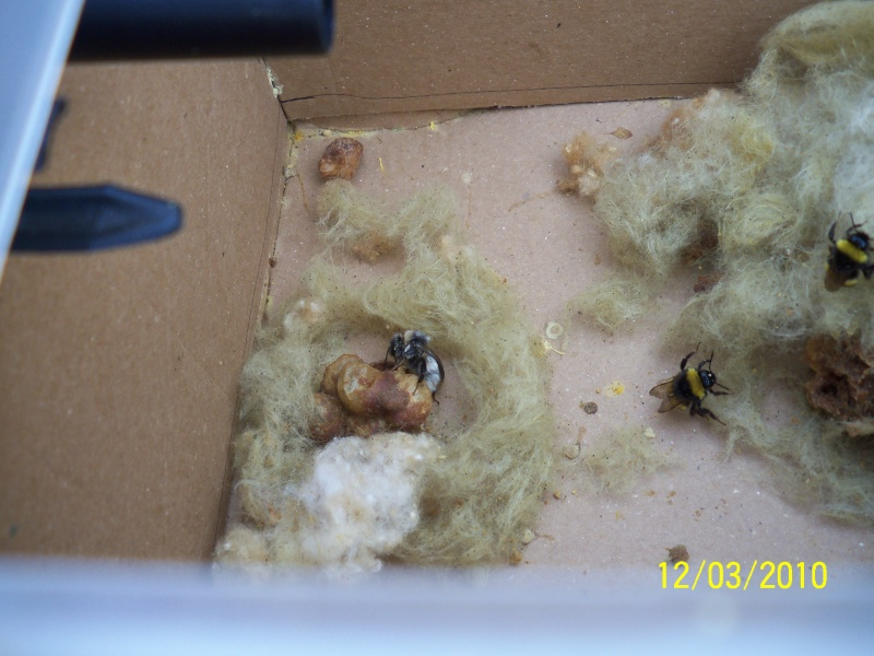 Bombus arılarının doğadaki önemi Yuklem10