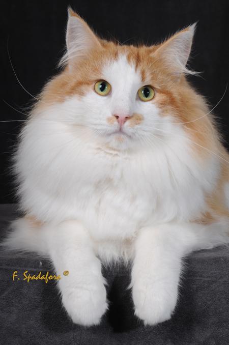 Le chat des forêts norvégiennes Dsc_3811