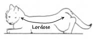 L'appareil reproducteur et le cycle sexuel de la chatte Lordos10