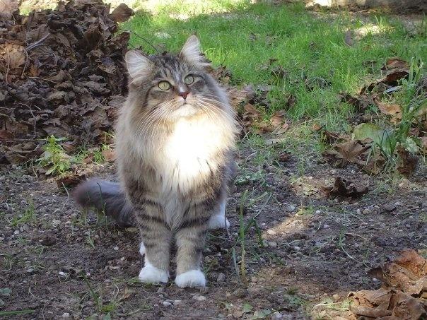 Le chat des forêts norvégiennes Untitl14