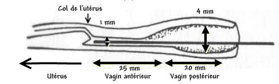 L'appareil reproducteur et le cycle sexuel de la chatte Vagin_10