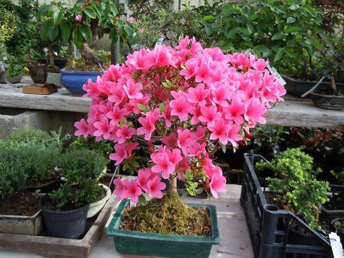 Preparazione stagionale dei bonsai Azalea10
