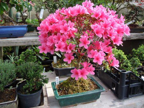 Preparazione stagionale dei bonsai Azalea11