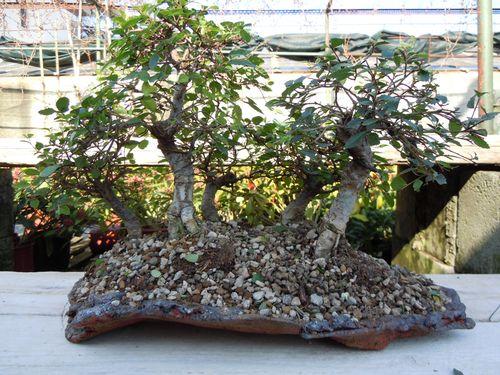 Preparazione stagionale dei bonsai Bosche12