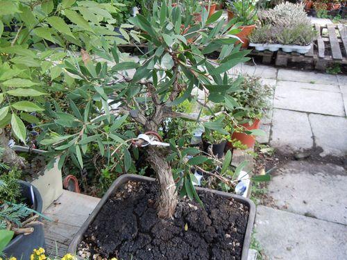Preparazione stagionale dei bonsai Callis10