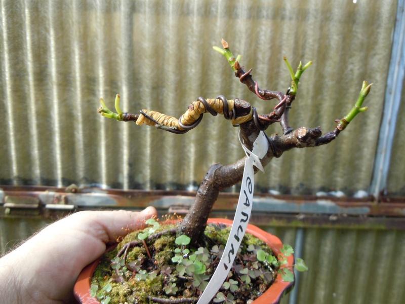 Ficus-Carica - Pagina 2 Carica10