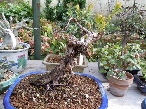 Preparazione stagionale dei bonsai Cotinu10