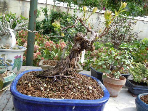 Preparazione stagionale dei bonsai Cotnus10
