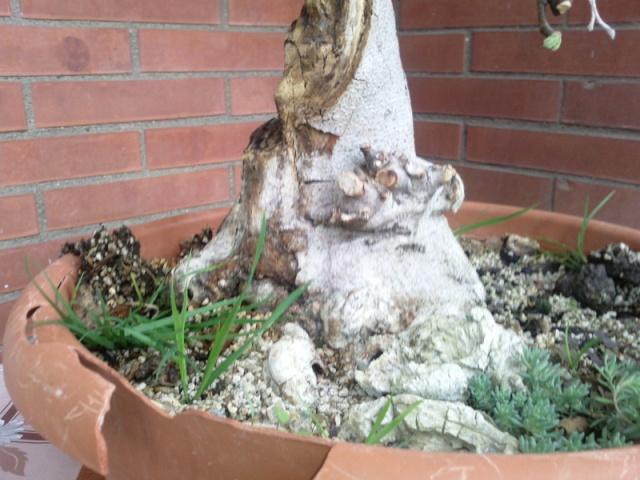 Ficus Carica e Pino Silvestre Ficus110