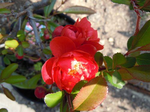 Preparazione stagionale dei bonsai Fiore_10