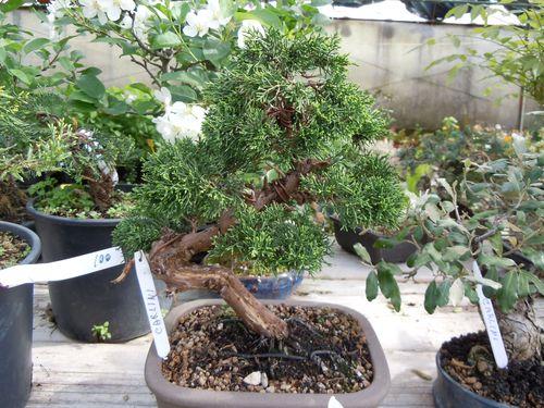 Preparazione stagionale dei bonsai Ginepr19