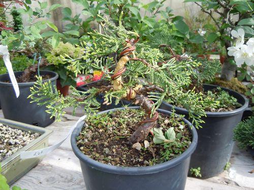 Preparazione stagionale dei bonsai Ginepr21