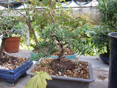 Preparazione stagionale dei bonsai Rosmi111