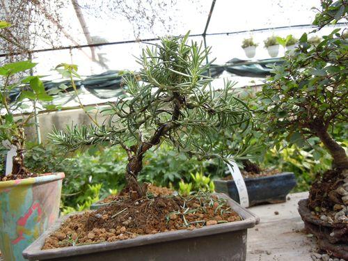 Preparazione stagionale dei bonsai Rosmi210
