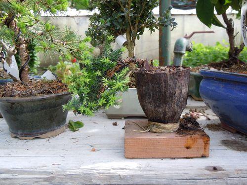Preparazione stagionale dei bonsai Shita110