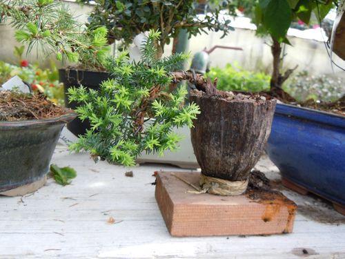 Preparazione stagionale dei bonsai Shita210