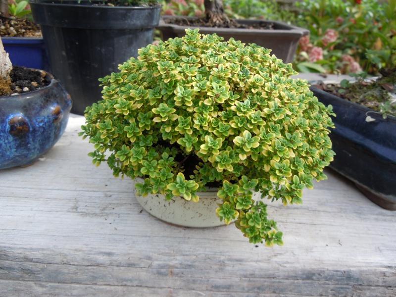 Preparazione stagionale dei bonsai Shitak10