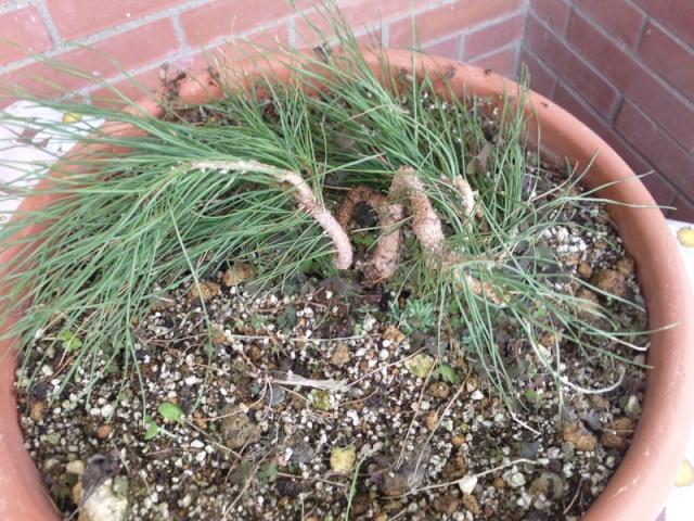 Ficus Carica e Pino Silvestre Silves10