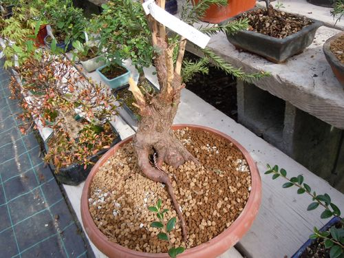 Preparazione stagionale dei bonsai Tasso10