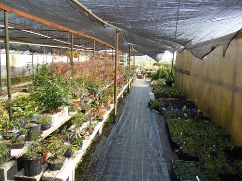 Preparazione stagionale dei bonsai Vivaio10