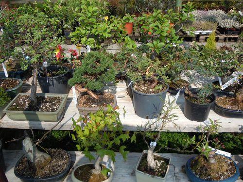 Preparazione stagionale dei bonsai Vivaio11