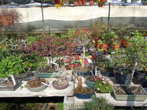 Preparazione stagionale dei bonsai Vivaio12