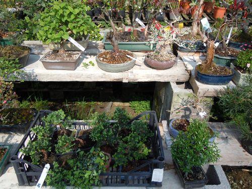 Preparazione stagionale dei bonsai Vivaio13